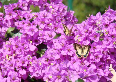 bouganvillie motyl